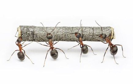 team of ants work with log, teamwork
